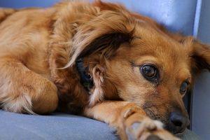 Gravidez psicológica em animais