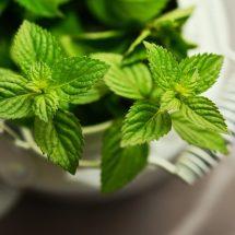 óleo essencial de hortelã